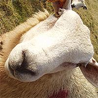 De l'agriculture aux méthodes de gestion agro-pastorales ? Ouessant, 2002.