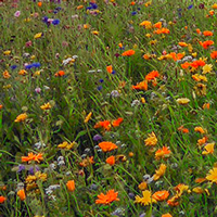 Prairie fleurie à Recouvrance, ©2017 brest.fr
